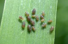 cherry-oat aphids