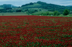 field of crimson clover flowers