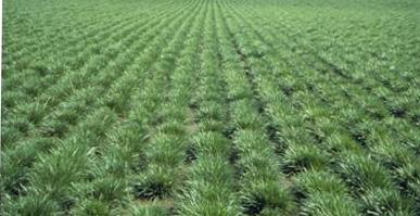 grass seed field
