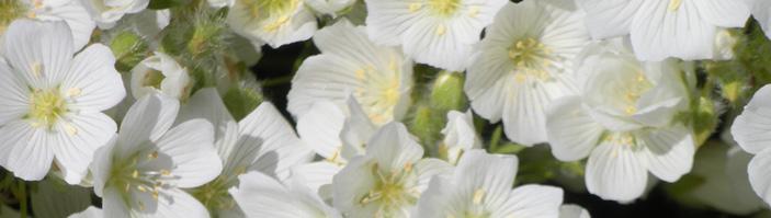 meadowfoam flowers