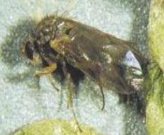 meadowfoam fly