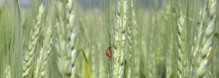 ladybug in oat field